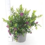 Polygala - La jardinerie de pessicart nice - Livraison a domicile nice 06 plantes vertes terres terreaux jardinage arbres cactus