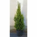 cupressus 4 - La jardinerie de pessicart nice - Livraison a domicile nice 06 plantes vertes terres terreaux jardinage arbres cactus