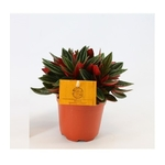 peperomia bambino rosso - La jardinerie de pessicart nice - Livraison a domicile nice 06 plantes vertes terres terreaux jardinage arbres cactus