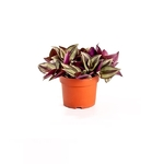 tradescantia misere -  La jardinerie de pessicart nice - Livraison a domicile nice 06 plantes vertes terres terreaux jardinage arbres cactus