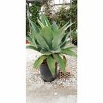 agave attenuata agave sans epines 3 - La jardinerie de pessicart nice - Livraison a domicile nice 06 plantes vertes terres terreaux jardinage arbres cactus