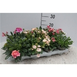 lewisia 2 - La jardinerie de pessicart nice - Livraison a domicile nice 06 plantes vertes terres terreaux jardinage arbres cactus