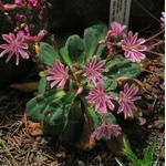 lewisia - La jardinerie de pessicart nice - Livraison a domicile nice 06 plantes vertes terres terreaux jardinage arbres cactus