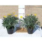 euryops - La jardinerie de pessicart nice - Livraison a domicile nice 06 plantes vertes terres terreaux jardinage arbres cactus