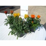 gazania 2 - La jardinerie de pessicart nice - Livraison a domicile nice 06 plantes vertes terres terreaux jardinage arbres cactus