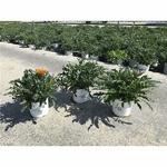gazania - La jardinerie de pessicart nice - Livraison a domicile nice 06 plantes vertes terres terreaux jardinage arbres cactus