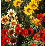 gazania 3 - La jardinerie de pessicart nice - Livraison a domicile nice 06 plantes vertes terres terreaux jardinage arbres cactus
