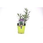 estragon Artemisia dracunculus herbe aromatique plante aromatique 2 - La jardinerie de pessicart nice - Livraison a domicile nice 06 plantes vertes terres terreaux jardinage arbres cactus