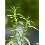 estragon Artemisia dracunculus herbe aromatique plante aromatique  - La jardinerie de pessicart nice - Livraison a domicile nice 06 plantes vertes terres terreaux jardinage arbres cactus