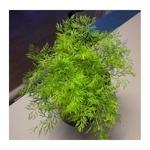 aneth Anethum graveolens herbe aromatique plante aromatique 3 - La jardinerie de pessicart nice - Livraison a domicile nice 06 plantes vertes terres terreaux jardinage arbres cactus