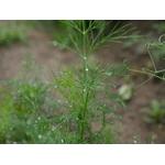 aneth Anethum graveolens herbe aromatique plante aromatique - La jardinerie de pessicart nice - Livraison a domicile nice 06 plantes vertes terres terreaux jardinage arbres cactus