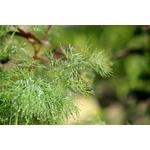 aneth Anethum graveolens herbe aromatique plante aromatique 2 - La jardinerie de pessicart nice - Livraison a domicile nice 06 plantes vertes terres terreaux jardinage arbres cactus