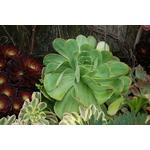 aeonium vert - La jardinerie de pessicart nice - Livraison a domicile nice 06 plantes vertes terres terreaux jardinage arbres cactus