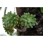 aeonium vert  2- La jardinerie de pessicart nice - Livraison a domicile nice 06 plantes vertes terres terreaux jardinage arbres cactus