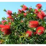 callistemon rince bouteille (Image par Marisa04 de Pixabay) - La jardinerie de pessicart nice - Livraison a domicile nice 06 plantes vertes terres terreaux jardinage arbres cactus