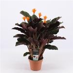 Calathea crocata 2 - La jardinerie de pessicart nice - Livraison a domicile nice 06 plantes vertes terres terreaux jardinage arbres cactus