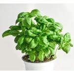 Basilic - Image par monicore de Pixabay   - La jardinerie de pessicart nice - Livraison a domicile nice 06 plantes vertes terres terreaux jardinage arbres cactus