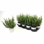 Romarin - La jardinerie de pessicart nice - Livraison a domicile nice 06 plantes vertes terres terreaux jardinage arbres cactus