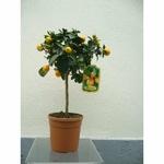 Kumquat 3 - La jardinerie de pessicart nice - Livraison a domicile nice 06 plantes vertes terres terreaux jardinage arbres cactus