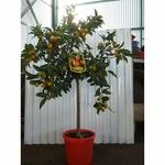 Kumquat 2 - La jardinerie de pessicart nice - Livraison a domicile nice 06 plantes vertes terres terreaux jardinage arbres cactus