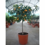 Kumquat 4 - La jardinerie de pessicart nice - Livraison a domicile nice 06 plantes vertes terres terreaux jardinage arbres cactus
