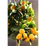 Calamondin agrunes - Image par Andy M. de Pixabay  - La jardinerie de pessicart nice - Livraison a domicile nice 06 plantes vertes terres terreaux jardinage arbres cactus