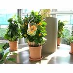 Calamondin agrumes  - La jardinerie de pessicart nice - Livraison a domicile nice 06 plantes vertes terres terreaux jardinage arbres cactus
