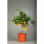 Calamondin agrumes 2 - La jardinerie de pessicart nice - Livraison a domicile nice 06 plantes vertes terres terreaux jardinage arbres cactus