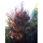 Dodonaea viscosa Purpurea- Photo credit briweldon on Visualhunt -  La jardinerie de pessicart nice - Livraison a domicile nice 06 plantes vertes terres terreaux jardinage arbres cactus