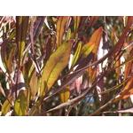 Dodonaea viscosa Purpurea - Photo credit  nautical2k on VisualHunt-  La jardinerie de pessicart nice - Livraison a domicile nice 06 plantes vertes terres terreaux jardinage arbres cactus