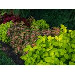 coleus  - Photo credit F. D. Richards on VisualHunt.com -  La jardinerie de pessicart nice - Livraison a domicile nice 06 plantes vertes terres terreaux jardinage arbres cactus