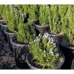 romarin corse aromatique 4- Photo credit cultivar413 on Visualhunt -  La jardinerie de pessicart nice - Livraison a domicile nice 06 plantes vertes terres terreaux jardinage arbres cactus