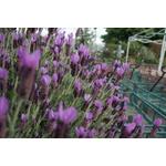 lavandes papillon stoechas aromatique - Photo credit UC Davis Arboretum and Public Garden on Visualhunt -La jardinerie de pessicart nice - Livraison a domicile nice 06 plantes vertes terres terreaux jardinage arbres cactus