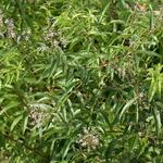 Verveine citronnelle - Photo credit M. Martin Vicente on VisualHunt.com- La jardinerie de pessicart nice - Livraison a domicile nice 06 plantes vertes terres terreaux jardinage arbres cactus