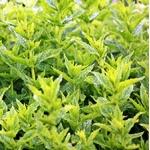 menthe - Image par S. Hermann & F. Richter de Pixabay  - La jardinerie de pessicart nice - Livraison a domicile nice 06 plantes vertes terres terreaux jardinage arbres cactus