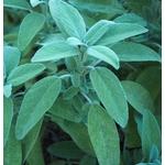 sauge aromatique - Photo credit tgrauros on Visualhunt.com - La jardinerie de pessicart nice - Livraison a domicile nice 06 plantes vertes terres terreaux jardinage arbres cactus