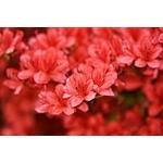 Azalée la jardinerie de pessicart 06100 Nice
