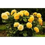 rosier La Jardinerie de Pessicart Nice