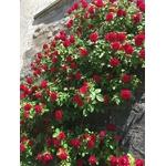 rosier grimpant La Jardinerie de Pessicart Nice