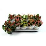 Kalanchoe - La jardinerie de pessicart nice - Livraison a domicile nice 06 plantes vertes terres terreaux jardinage arbres cactus