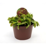 dionaea muscipula - 2 La jardinerie de pessicart nice - Livraison a domicile nice 06 plantes vertes terres terreaux jardinage arbres cactus