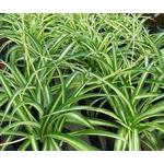 chlorophytum plante araignée -Photo credit  Les Serres Fortier on Visualhunt.com - La jardinerie de pessicart nice - Livraison a domicile nice 06 plantes vertes terres terreaux jardinage arbres cactus