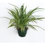 chlorophytum plante araignée - La jardinerie de pessicart nice - Livraison a domicile nice 06 plantes vertes terres terreaux jardinage arbres cactus