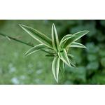 chlorophytum plante araignée -Photo credit  kamujp on VisualHunt- La jardinerie de pessicart nice - Livraison a domicile nice 06 plantes vertes terres terreaux jardinage arbres cactus