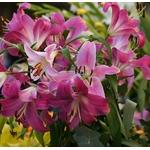 lys - Photo credit marimbajlamesa on VisualHunt.com - La jardinerie de pessicart nice - Livraison a domicile nice 06 plantes vertes terres terreaux jardinage arbres cactus