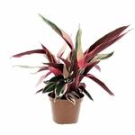 calathea triostar  - La jardinerie de pessicart nice - Livraison a domicile nice 06 plantes vertes terres terreaux jardinage arbres cactus