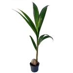 cocos nucifera cocotier - La jardinerie de pessicart nice - Livraison a domicile nice 06 plantes vertes terres terreaux jardinage arbres cactus