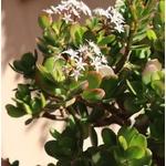 arbre de jade - Crassula - Image par TuJardínDesdeCero de Pixabay  - La jardinerie de pessicart nice - Livraison a domicile nice 06 plantes vertes terres terreaux jardinage arbres cactus