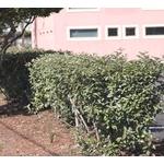 eleagnus - Photo credit thesix on Visualhunt- La jardinerie de pessicart nice - Livraison a domicile nice 06 plantes vertes terres terreaux jardinage arbres cactus
