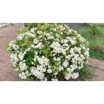 rosier de banks - rosa banksiae - Photo credit cultivar413 on Visualhunt.com - La jardinerie de pessicart nice - Livraison a domicile nice 06 plantes vertes terres terreaux jardinage arbres cactus